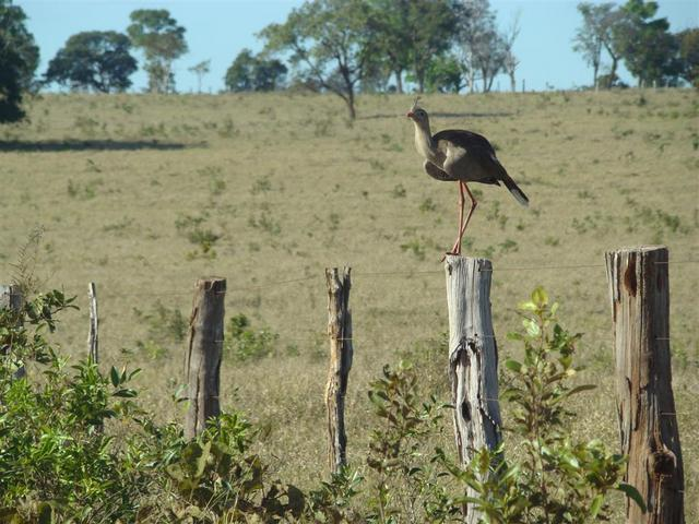 Seriema - Dicholophus cristatus - very common bird in the cerrado