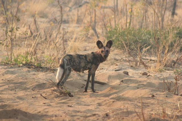 Wild dog in Kaudom, October 05