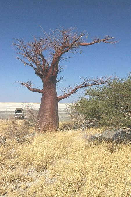 Coppery coloured Baobab tree in the near vicinity