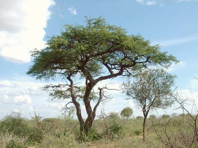 Typical Camel Thorn Tree