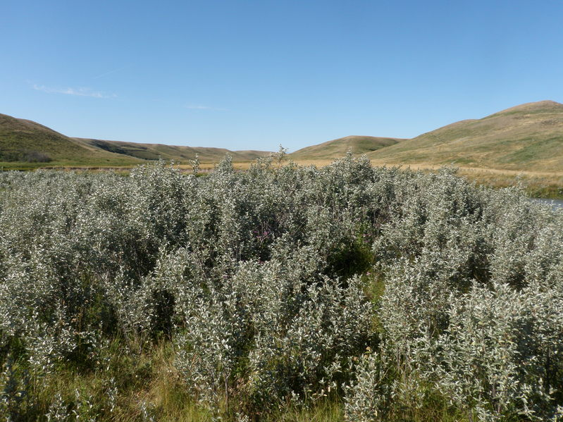 Wolf willow patch and view into Montana