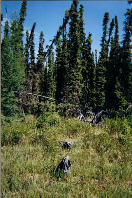 View north. Stand of Black Spruce in the background.