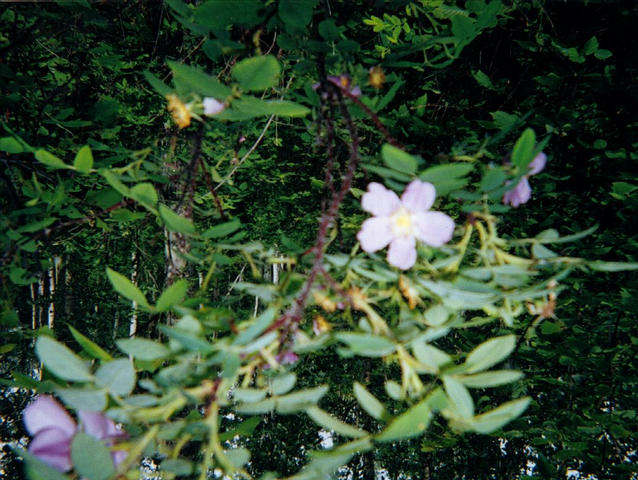 The Wild Rose is the floral emblem of the province of Alberta