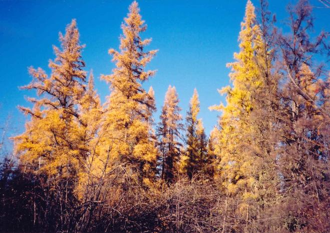 Larch trees near the confluence