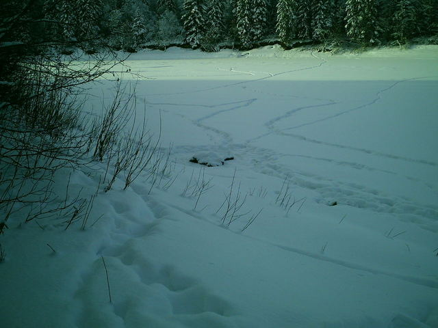 Facing southwest with moose carcass and wolf tracks in the foreground