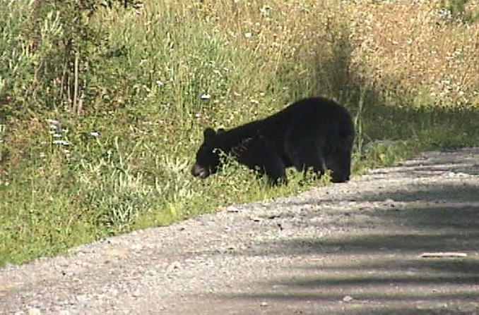 Bear scampering across road near Eagle Creek