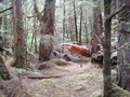 #8: Old growth near ridge
