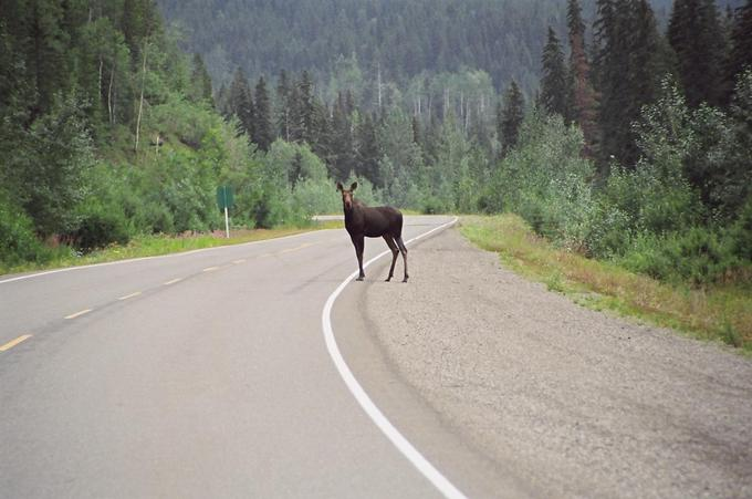 Moose on Highway 29