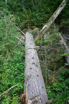 #1: A tree crossing a small gully, pointing directly to the confluence point some 20m away