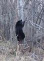 #8: A black bear near the confluence.