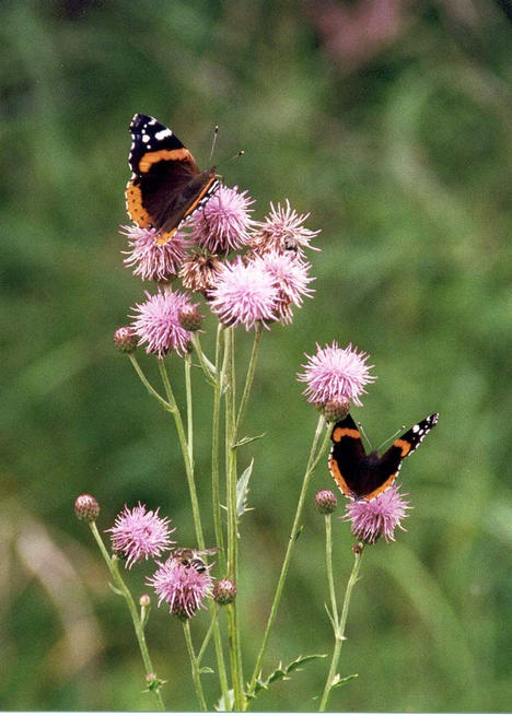 Butterflies on thistles beside the trail