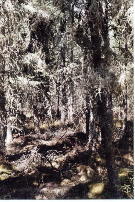 Typical boreal forest