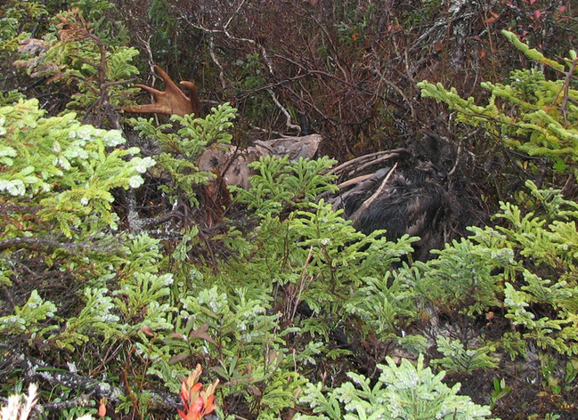 Dead moose we found on the return from confluence point.