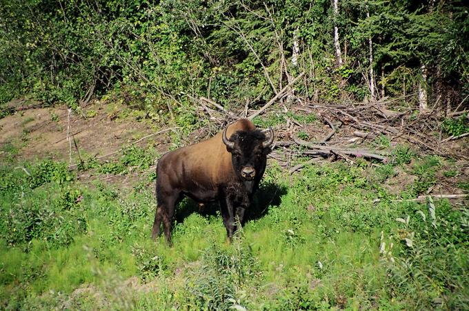 Wood Bison near Netsa River