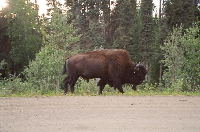 Wood Bison beside highway near Fort Liard