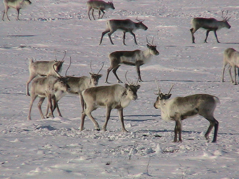 Some of the Caribou that were spotted near the confluence.
