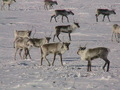 #8: Some of the Caribou that were spotted near the confluence.