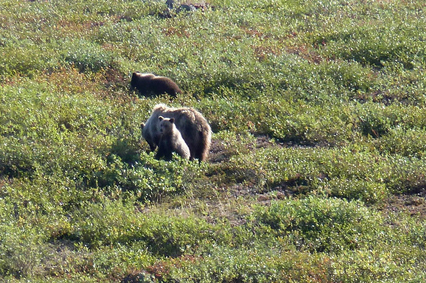 mum grizzly bear with two cubs seen further north