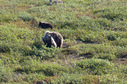 #7: mum grizzly bear with two cubs seen further north