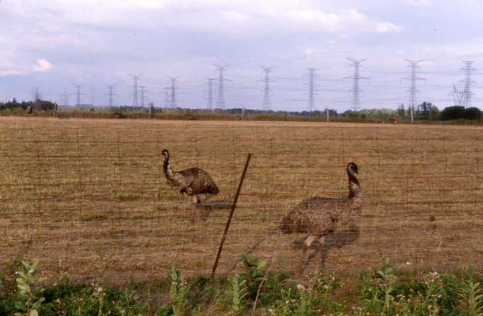 Emus at nearby emu and ostrich farm.