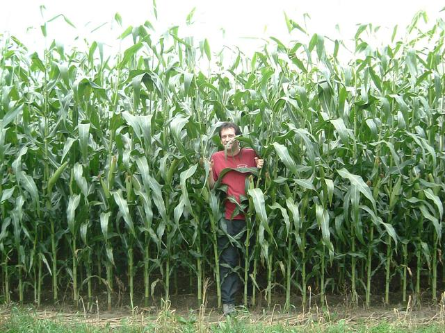Mark emerges from the 10 foot high (2.5 m) corn.