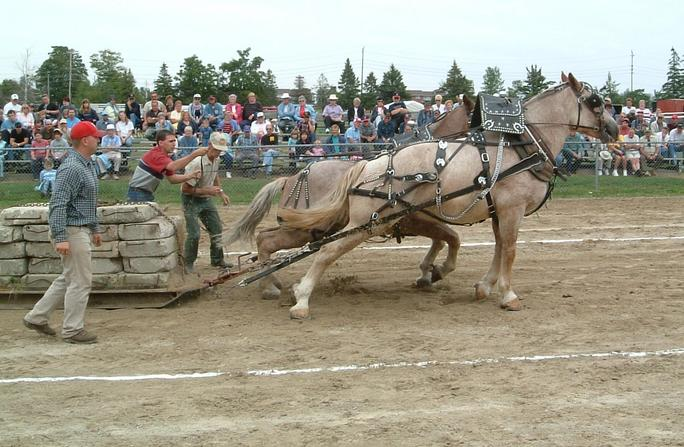 Horses pulling nearly 6000 pounds  (2730 kg)