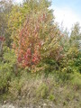 #3: Red tree near confluence