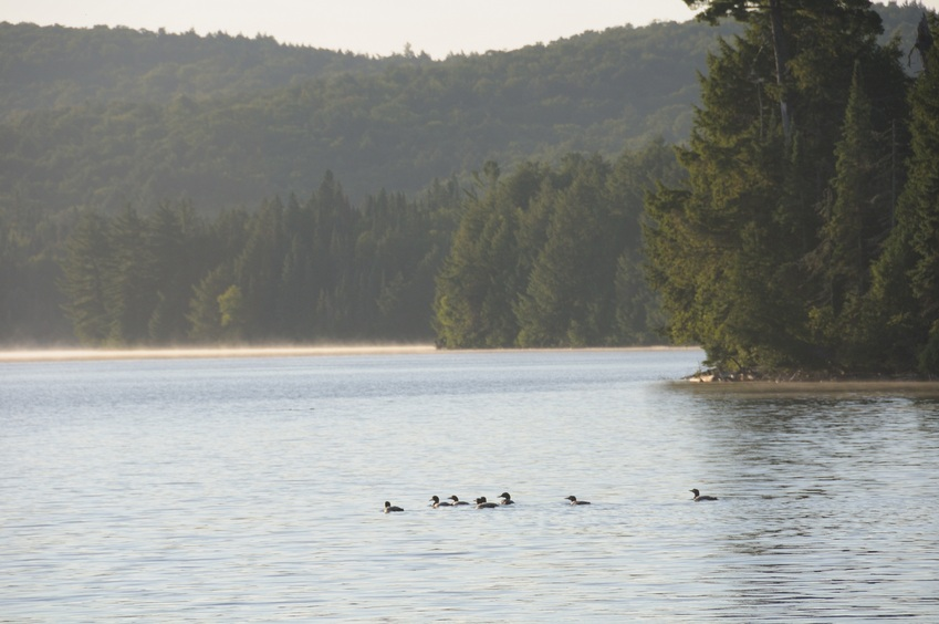 Loons in the early morning