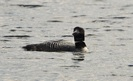 #9: Loon in Algonquin Park