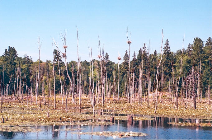 Lake created by beaver dam, with nests in trees.