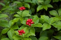#9: A cluster of pretty berries, seen near the confluence point