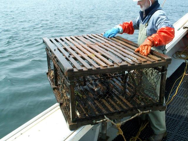 Pulling a lobster trap