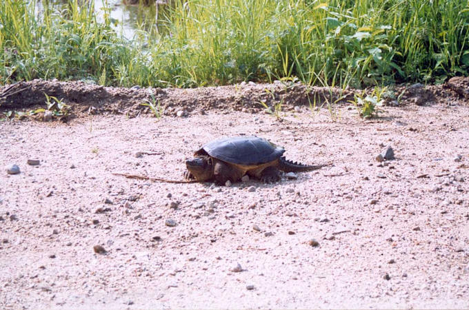 Near the confluence.  The largest tortoise which I ever saw in Quebec (almost 1 foot diameter)