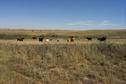 #10: Cows in a pasture 4 km southwest of the confluence.