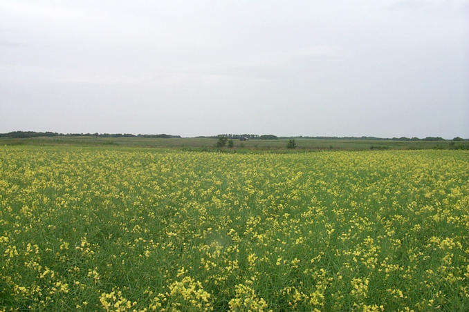 Looking north from the confluence point in a canola field.