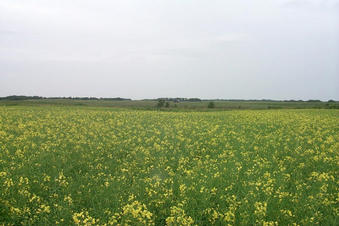 #1: Looking north from the confluence point in a canola field.