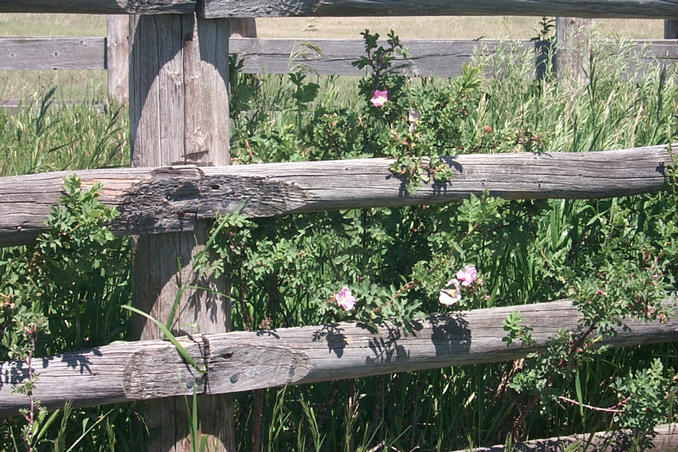 Wild roses growing by corral fence.