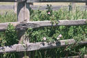 #9: Wild roses growing by corral fence.