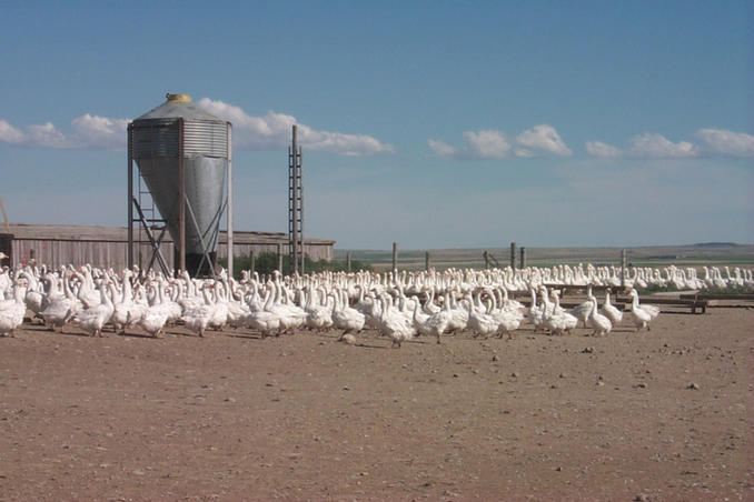 A few of the many geese on the Hutterite Colony.