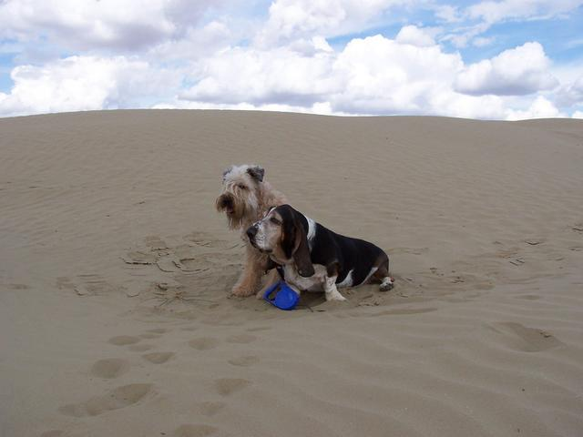 Dogs on Dunes - Max and MacDuff.