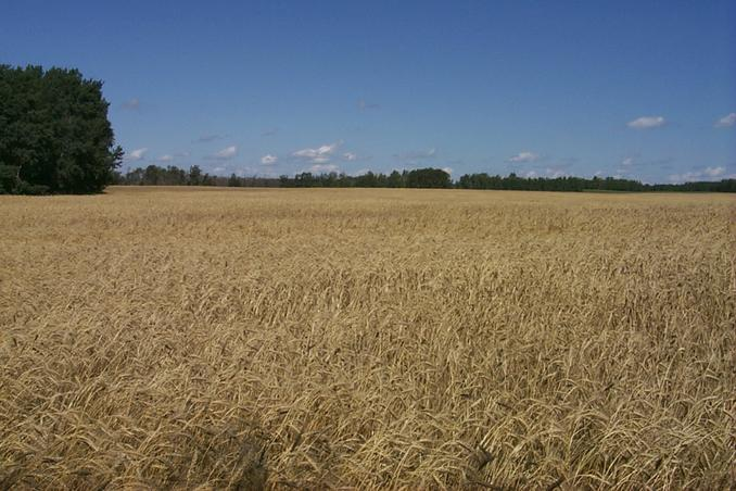 Looking north from the south edge of crop.
