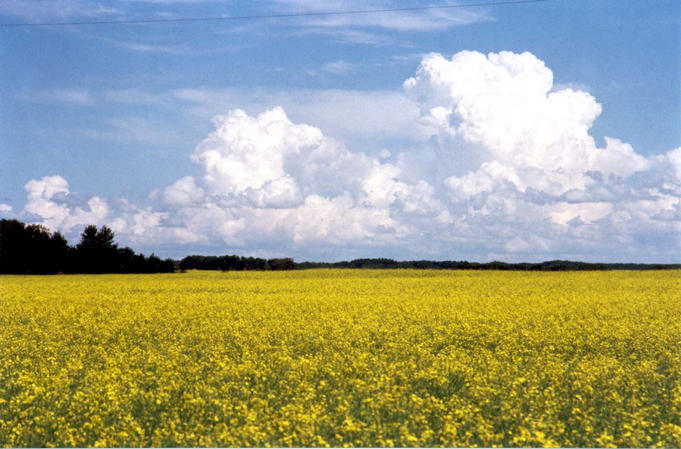 A canola field at 51 degrees 56.7 minutes north and 103 degrees 7.0 minutes west