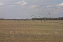 #10: Great Blue Herons take flight from a stubble field. One of many flocks of migrating birds we saw.