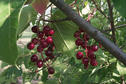 #5: Wild chokecherries.  These are often used to make jelly or wine.