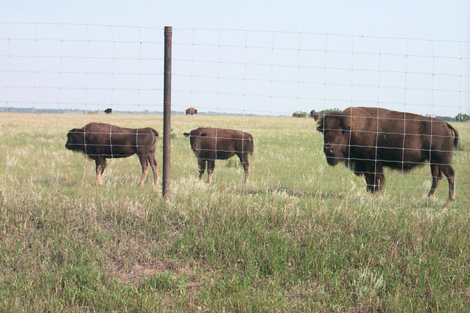 Another view of the bison.