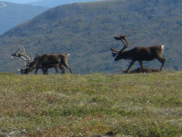 Caribou herd on the way / Rentierherde auf der Hochebene