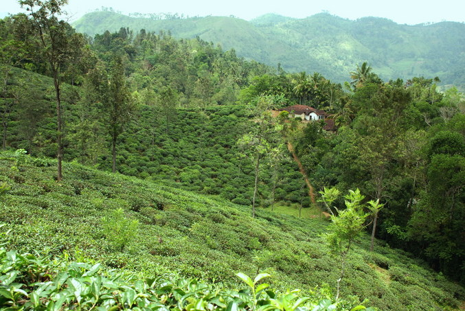 The tea plantation where we started the hike - CP on the opposite hill behind the house
