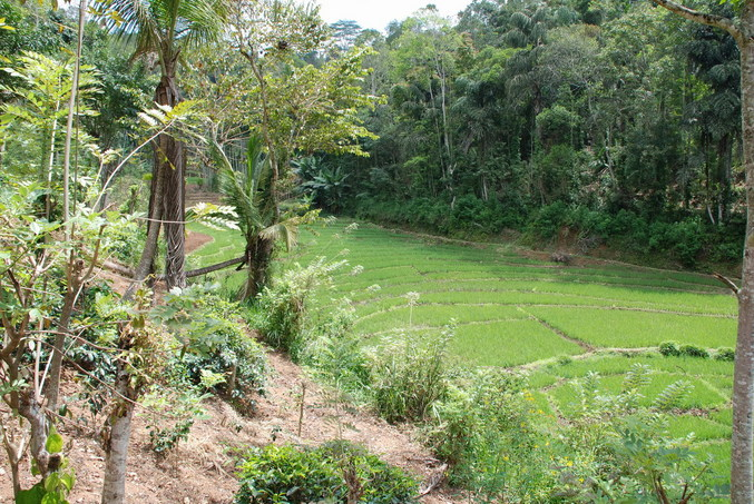 Valley floor - the forest across the rice paddy is where we encountered leeches