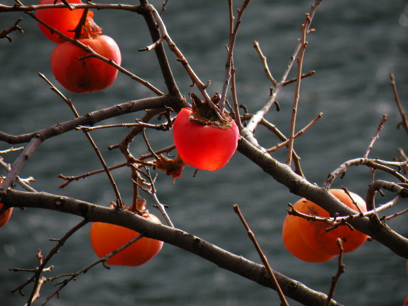 Transparent Persimmons