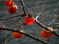 #11: Transparent Persimmons